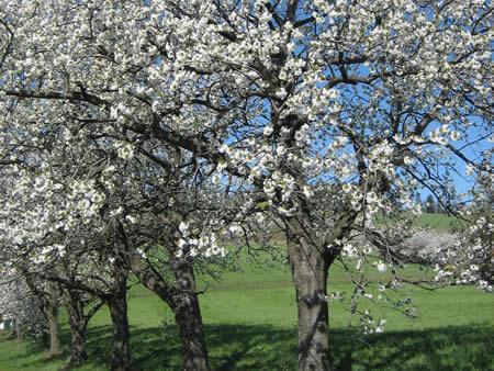 Kirschenbaumblüte