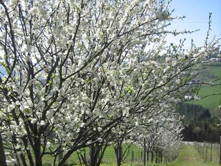 Zwetschkenbaumblüte