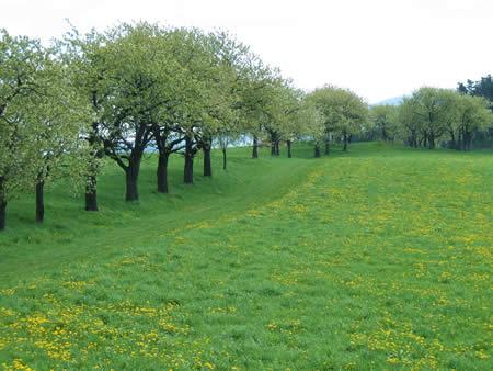 Lange Obstbaumreihen durchziehen unsere Wiesen...